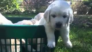Download Rex & Sasha Pups, Classic Heritage English Cream Golden Retriever Breeder Video