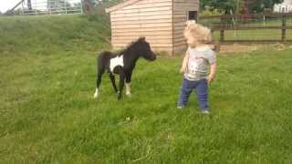 Download newborn miniature shetland foal gets friendly with young children! Video