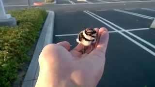 Download Rescued baby bird returned to parents. Video