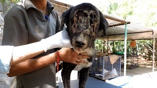 Download The dog who grew a new face – Kalu's astounding recovery (graphic) Video