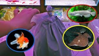 Download Aquarium Fish Unboxing! Goldfish, Albino Adonis Pleco, Motoro Stingray and More! Video