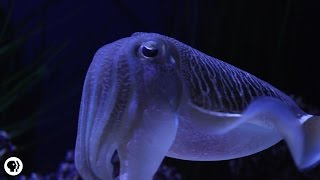 Download Cuttlefish: Tentacles In Disguise Video