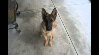 Download Time Lapse: Puppy to Adult in 40 seconds. Dunder photo a day. Year 1 Video
