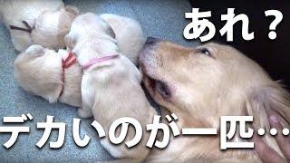 Download 【生後11日】すでに仔犬毎に個性が出てきています Video