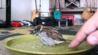 Download Bath time for Sparky the Sparrow Video