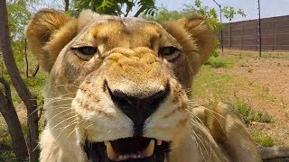 Download Why I Don't Breed The Lions #AskMeg | The Lion Whisperer Video