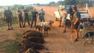 Download Bushpig hunting - Limpopo Video