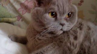 Download Британский кот прикольная реакция Video