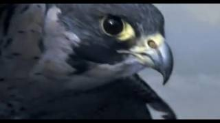 Download Peregrine Falcon Sky Dive - Inside the Perfect Predator - BBC Video