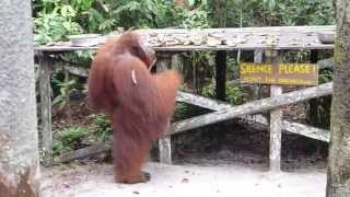 Download Kibell Family Orangutan Adventure Day 2 Video