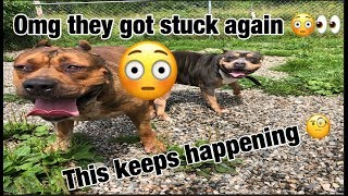Download THE HULK LIFE: why do my dogs keep getting stuck together!! Video