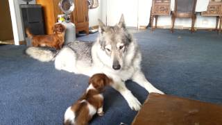 Download Wolf hybrid playing with little dogs Video