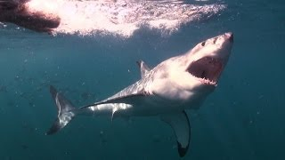 Download Mad or Brave? Great White Shark Encounter - Deadly 60 - South Africa - Series 3 - BBC Video