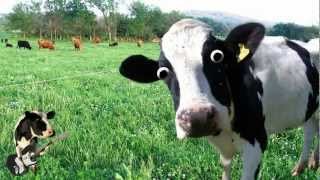 Download I'm a Cow Song Video
