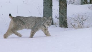 Download Lynx And Wolf Playing? Video