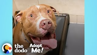 Download Pittie Stuck In The Shelter For A Year Just Wants To Be A Family Member | The Dodo Adopt Me! Video