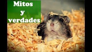 Download HÁMSTERS: Mitos y todo lo que debes saber sobre ellos Video