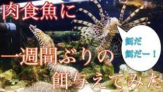 Download 【アクアリウム】一週間ぶりにウツボとミノカサゴに餌を与えてみた Video