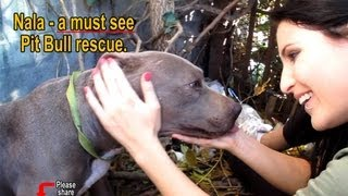 Download Nala - Scared stray Pit Bull living in a ditch - rescued! Please share on facebook & twitter Video