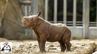 Download Baby Rhino Practicing Charging and Playing Compilation Video
