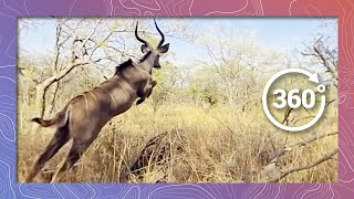 Download Kudu (Antelope) in 360 4K Running and Jumping (Wildlife and Nature 2018) Video