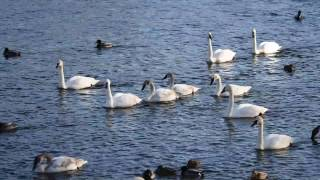 Download Trumpeter swans on the Mississippi River, Minnesota Video