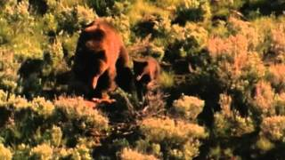 Download Wyoming Wildlife TV #2-Wolves and Grizzly Bears Video