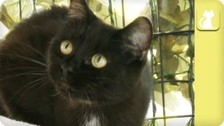 Download Black cat ignored, thought of as bad luck - Unadoptables Video