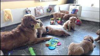 Download Golden Retriever Puppy Cam Live Stream Video