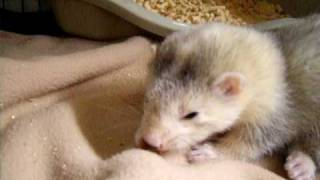 Download Baby ferret eating a mouse Video