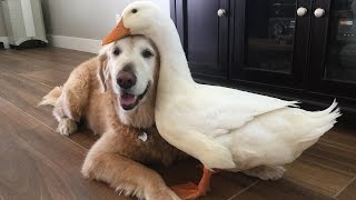 Download Dog And Duck Are Inseparable Best Friends: CUTE AS FLUFF Video
