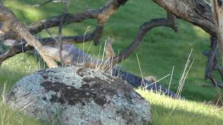Download CZ 455 .22LR SPRING COTTONTAIL FEVER II Video