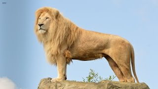 Download Big Cats Of The Timbavati - The King's Pride (Wildlife Documentary) HD Video