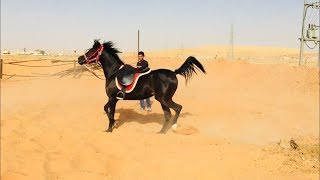 Download عسف دهماء في نص ساعة وركوبها Horse Training - First Ride - Mount horse in half hour for first time Video