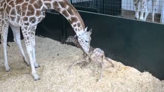 Download Baby Giraffe First Time Standing Video