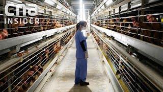 Download Inside Singapore's Largest Egg Farm Video