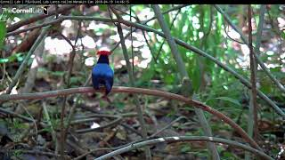 Download Male Lance-tailed Manakins Team Up In Courtship Display – April 19, 2018 Video