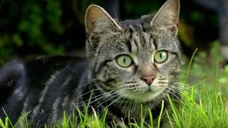 Download Why Do Cats Hunt? - Cats Uncovered - BBC Video