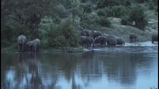 Download Djuma: Elephant herd drinking and swimming in the dam-Pt:1 - 18:50 - 01/14/2020 Video