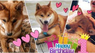 Download Happy 1st birthday Mila Dango & Cooper / Shiba Inu 1 year old Video
