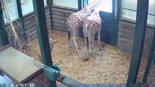Download Giraffe Cam Video