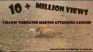 Download Yellow Throated Marten Attacking Langur( full version) Rarest scenes - Corbett National Park, India Video