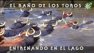 Download Espectacular baño de los toros en el lago, vistas áreas de dron   Toros desde Andalucía Video