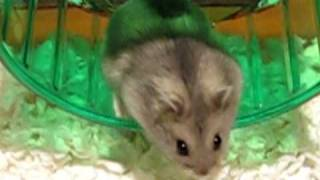 Download Brand new hamster gets used to her cage Video