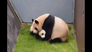 Download 【がんばれ~!!】良浜ママ🐼迷子の結浜を迎えに行く✨【親子パンダ】Giant Panda -Rauhin&Yuihin-☆Rauhin looks for Yuihin Video