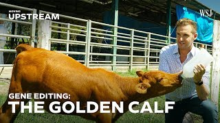 Download This Gene-Edited Calf Could Transform Brazil's Beef Industry | Moving Upstream Video