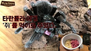 Download 타란튤라에게 '쥐'를 먹이로 줬습니다. // Feed the ″live mouse″ Video