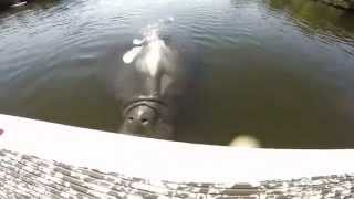 Download Huge Manatee Attacks Stand Up Paddle Board Fisherman Video