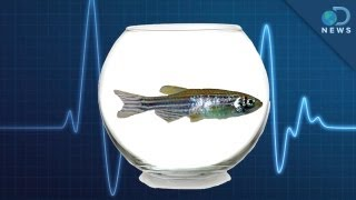 Download Zebrafish: The New Lab Rat Video