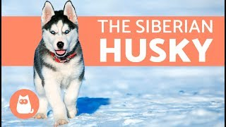 Download All About the Siberian Husky - History and care Video